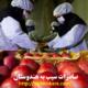 صادرات سیب به هندوستان